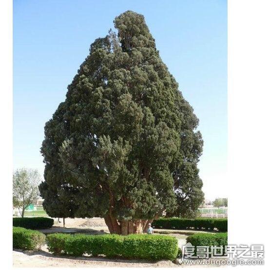 地球上最古老的植物,盘点现存超长寿的植物