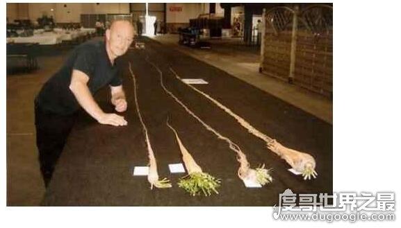 世界上最长的胡萝卜,一根长达5.84米的胡萝卜