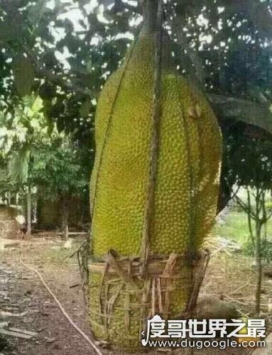 世界上最大的桔子,5斤大橘子重量堪比西瓜