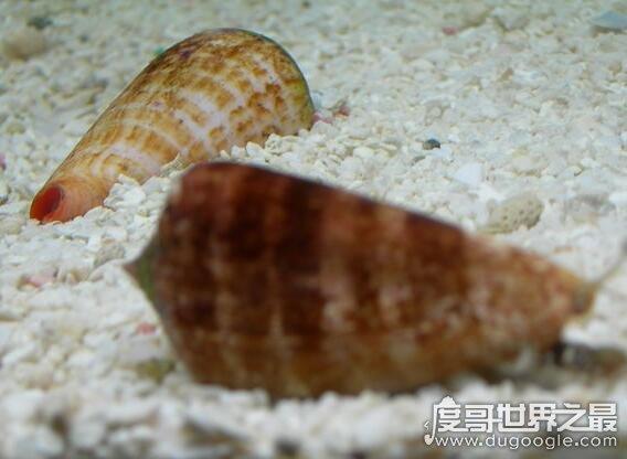 世界上毒性最强的螺,鸡心螺的毒液可以让你死的悄无声息