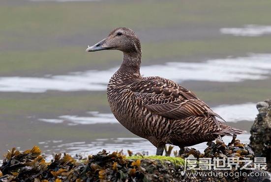 世界上最贵的羽绒被,售价高达42.8万元的冰岛雁鸭绒