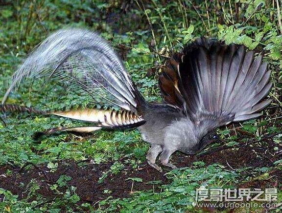 世界上最神奇的鸟,琴鸟能模仿一切声音(还会学人叫)
