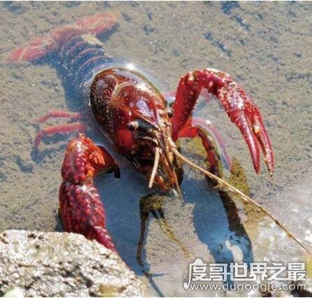 男子花7万买小龙虾放生,梦到龙虾向自己求救(真土豪)