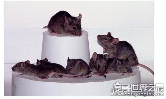 被老鼠咬了怎么办,一定要引起重视及时就医注射疫苗