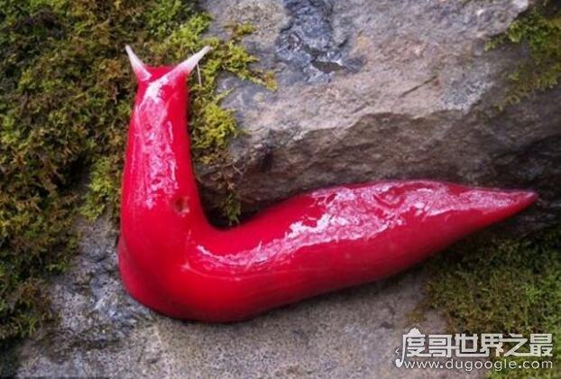 世界上最大的巨型鼻涕虫图片,巨型粉红鼻涕虫长达20厘米