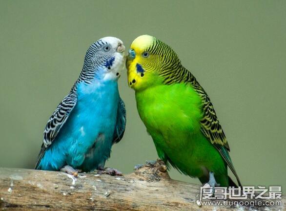 虎皮鹦鹉会说话吗,只要训练好它们也是会说话的(教你怎样训练)