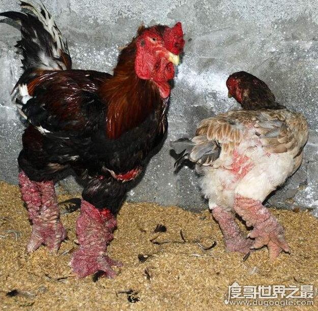 世界上最大的鸡爪,越南东涛鸡(一对鸡爪就要上千元)
