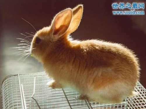 公主兔,最重情重义的可爱宠物兔