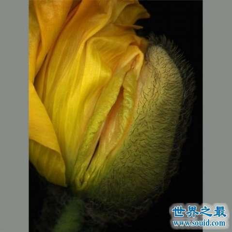 世界上最像女性生殖器的花,令人脸红的女人花