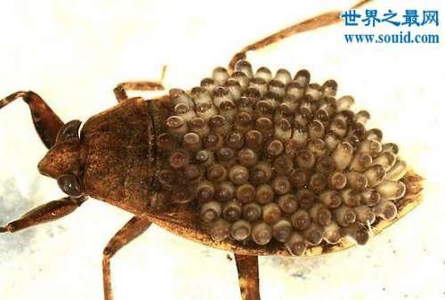 水中霸王田鳖,能使人体融化的恐怖昆虫(超恶心)