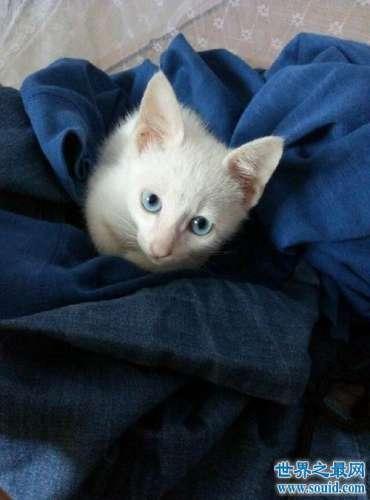 最漂亮的猫蓝眼白猫 确是上帝的败笔