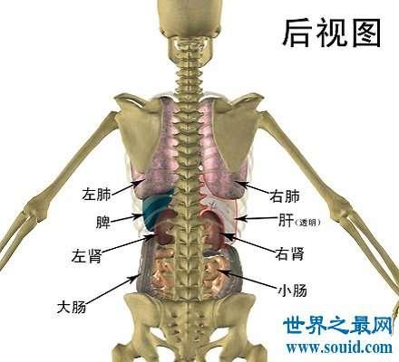 人体器官分布图 让你清晰看到人体五脏六腑!
