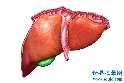 人体最大的器官是肝脏 最新发现的最大器官能分散癌症