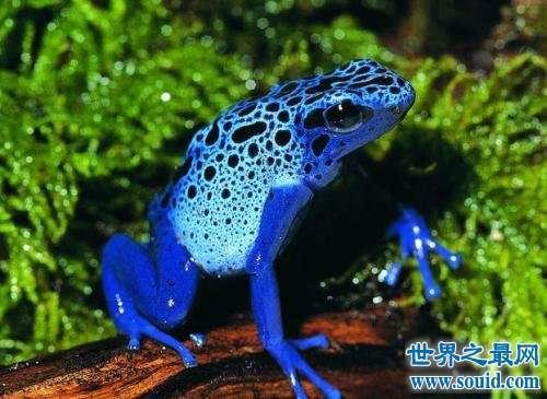 世界十大最毒青蛙,颜值虽高但有剧毒!