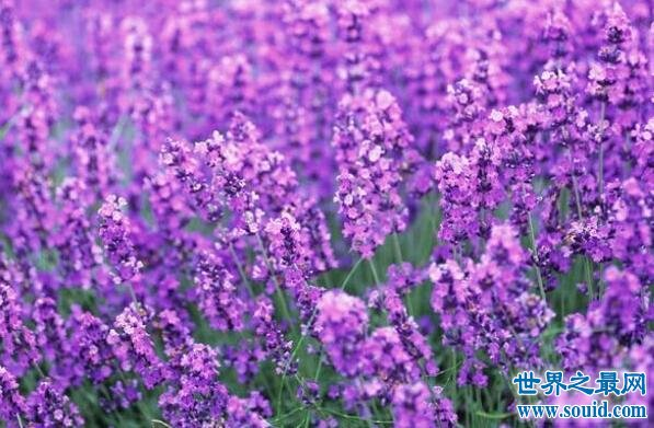 成熟的人都喜欢紫sè的花,象征着尊贵成熟和完美主义