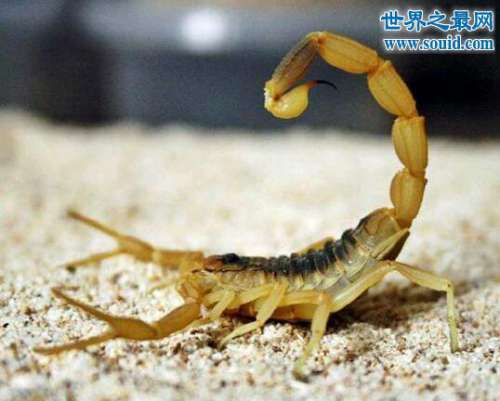 世界第一毒蝎,以色列金蝎VS黑寡妇(同归于尽)