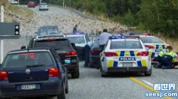 羊群助警察抓逃犯曝主人身份 网友:恶贼斗不过群羊