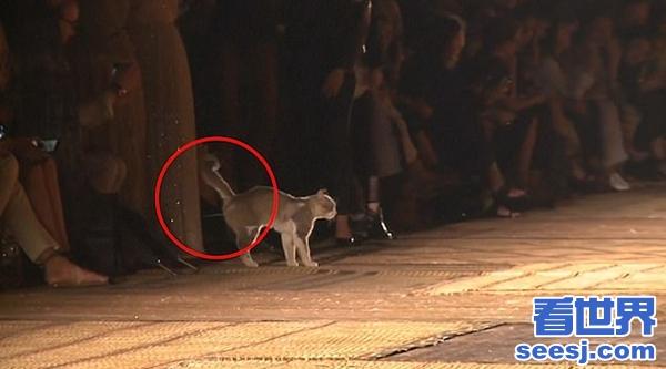 """一猫咪闯入时装秀 走""""猫步""""后小便标记领地"""