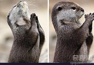 水獭饭前祈祷照惹人爱 双手合十紧闭双眼真有趣