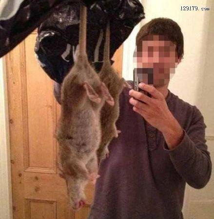 英国发现60厘米长巨大老鼠 对鼠药免疫