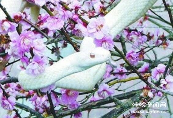 揭秘赤练蛇有毒吗,长有后沟毒牙(被咬有一定几率中毒昏迷)