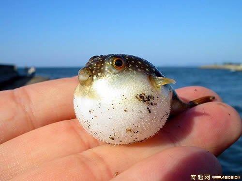 [图文]神奇怪鱼肚大如气球 全身长有肉刺