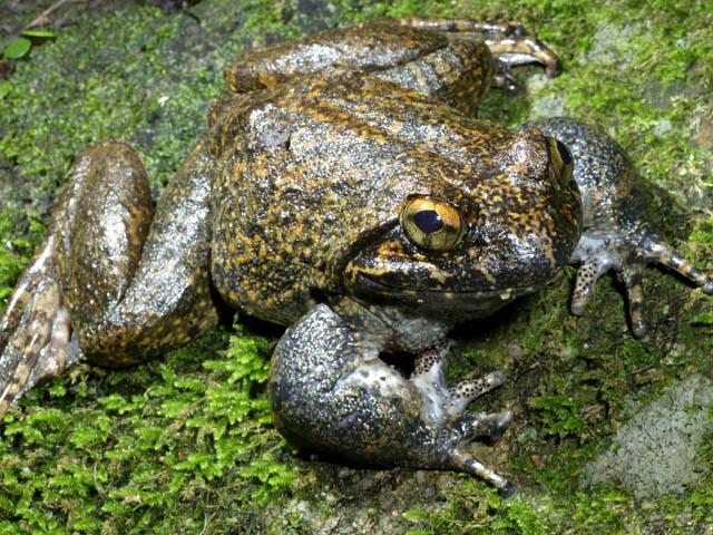 世界上最营养的蛙类 具有极好的药用价值