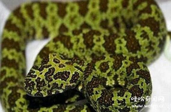 世界十大毒蛇排行榜,黑曼巴蛇和眼镜王蛇竟然不是第一
