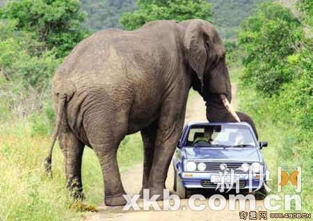 [图文]南非发生大象突袭游客汽车事件 所幸没有人员伤亡