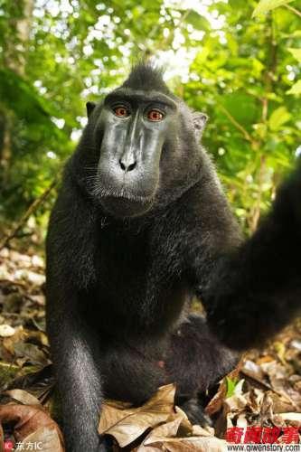猴子自拍照版权属于谁他最终打赢了官司