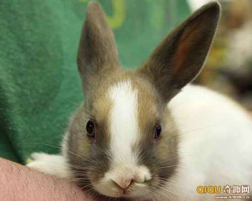 图文美国一可爱侏儒兔长有两个鼻子使它成为媒体明星