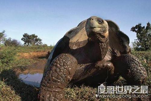 世界上最大的乌龟排名,加拉帕戈斯象龟(身高1.5米/体重800斤)
