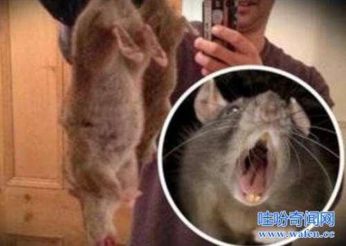 非洲老鼠吃人案5岁女孩鼻子耳朵全被吃活活痛死