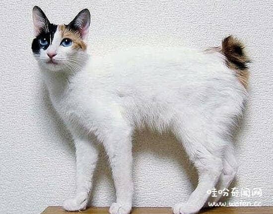 土耳其安哥拉猫价格图片