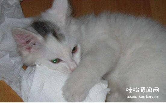 土耳其安哥拉猫的特点图片