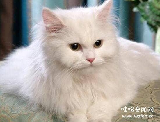 土耳其安哥拉猫鸳鸯眼图片