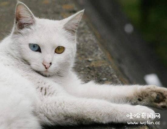 土耳其安哥拉猫多少钱一只图片