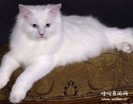 土耳其安哥拉猫图片图片