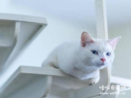 土耳其安哥拉猫多少钱图片