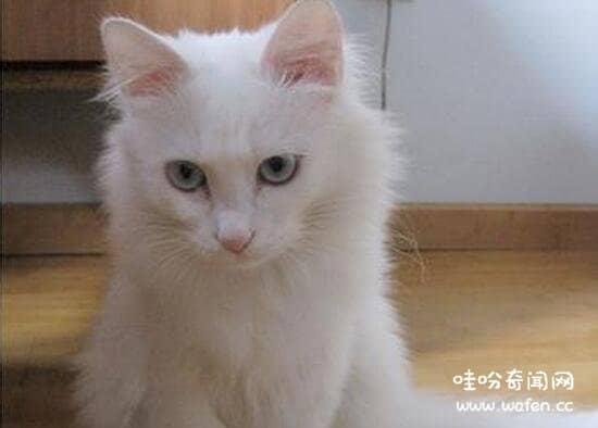 土耳其安哥拉猫异瞳图片