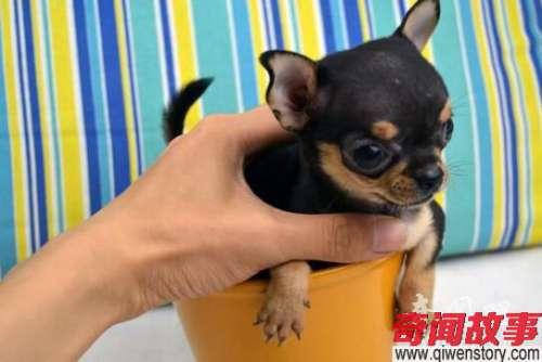 六种世界上最小的狗可爱得不要不要的