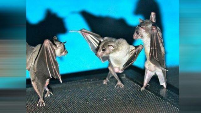 蝙蝠为什么倒挂着睡觉?