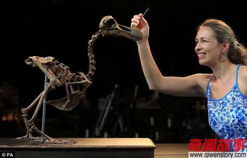 世界私人保存最完整渡渡鸟骨架