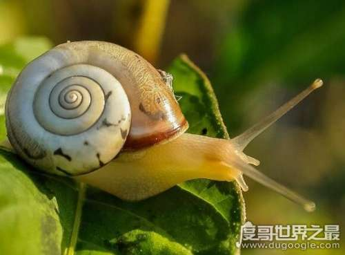 蜗牛吃什么,幼蜗牛多以腐败植物为食(成蜗牛多以绿色植物为食)