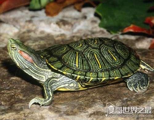 巴西龟寿命,大部分只能活15年以下(最长寿命不超过35年)
