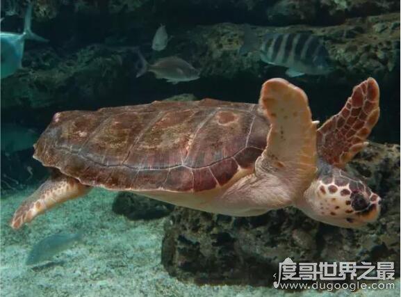 世界上触角最长的水母,北极霞水母触须长达36米(水母界的巨无霸)