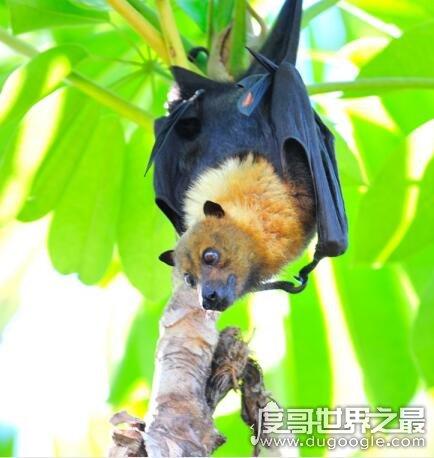 世界上zuì凶残的蝙蝠,吸血蝙蝠已开始吸食人血(动物界隐形杀手)