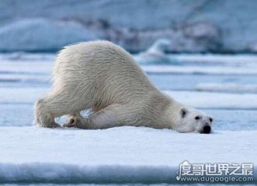 南极有北极熊吗,没有(在熊出现以前南极大陆就已经分离)