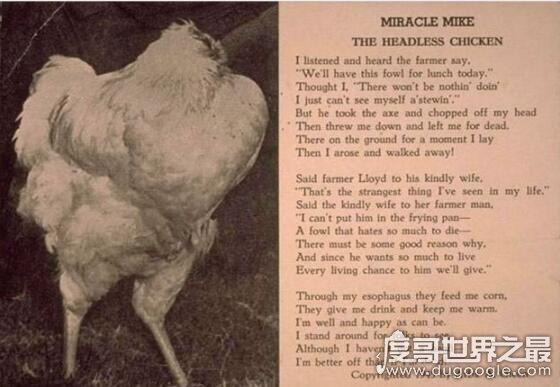 无头鸡麦克不死之谜,鸡被砍脑袋后活了18个月(没伤到关键部位)