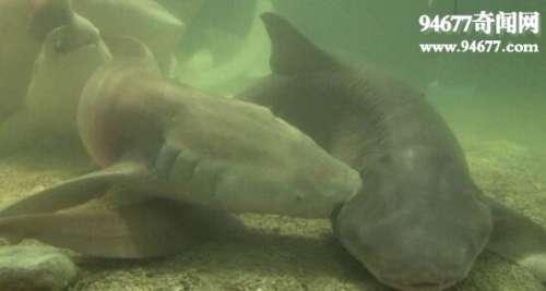盘点世界上有趣的动物,护士鲨竟边交配边撕咬